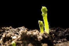 засаживает детенышей картошки Стоковые Изображения