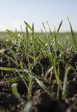засаживает детенышей пшеницы Стоковые Фото