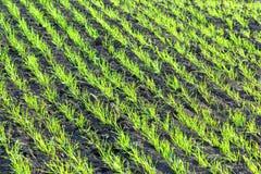 засаживает детенышей пшеницы стоковые изображения