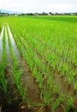 Засаживает поля риса Стоковая Фотография