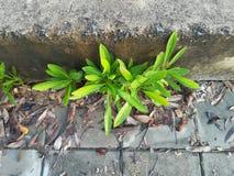 Засаживает прорастание на бетонной стене Стоковая Фотография