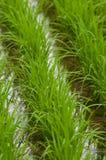 засаживает рис Стоковые Изображения RF