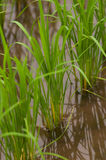засаживает рис Стоковые Фото