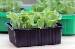 засаживает сеянцы салата Стоковая Фотография RF