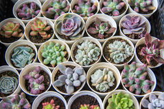 засаживает succulent Стоковые Фото