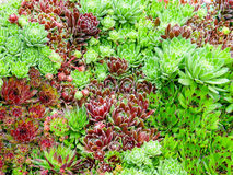 засаживает succulent Стоковые Фотографии RF
