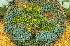 засаживает succulent Стоковые Изображения