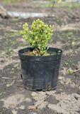 Засаживать елевое деревце дерева Трансплантируйте конец ` s радуги glauca Picea с корнями в баке Стоковое фото RF