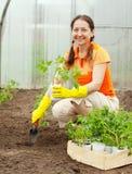 засаживать женщину томата сеянца Стоковая Фотография RF