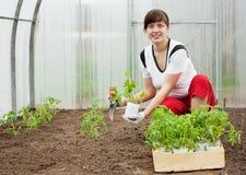 засаживать женщину томата сеянца Стоковые Изображения