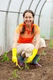 засаживать женщину томата Стоковые Фото
