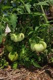 Засаживать зеленые томаты в огороде Стоковое Изображение