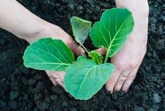 Засаживать капусту в саде Стоковые Изображения RF