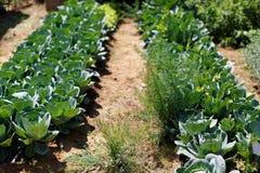 Засаживать капусту Стоковое Изображение RF