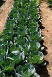 Засаживать капусту Стоковая Фотография RF