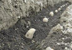 Засаживать картошки семени Стоковое Изображение RF