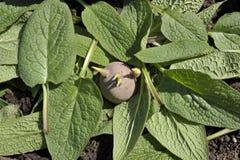 Засаживать картошки семени Стоковые Изображения
