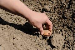 Засаживать картошки семени Стоковое Изображение