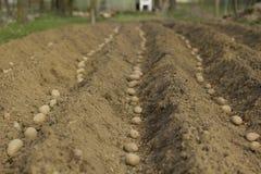 засаживать картошки Стоковое фото RF