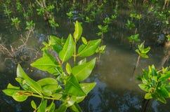 Засаживать мангровы Стоковое Изображение RF