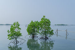 Засаживать мангровы Стоковая Фотография