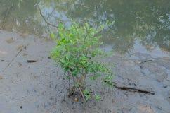 Засаживать мангровы Стоковые Изображения RF