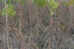 Засаживать мангровы Стоковая Фотография RF