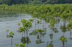 Засаживать мангровы Стоковое Фото