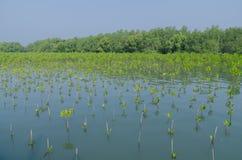 Засаживать мангровы Стоковые Изображения