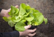 Засаживать молодой саженец салата в огороде Стоковое Изображение