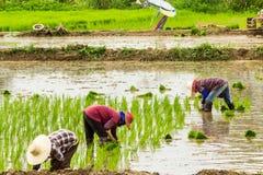 Засаживать риса Стоковое Изображение RF