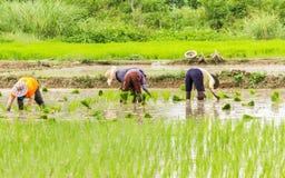 Засаживать риса Стоковое Изображение
