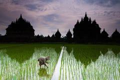 Засаживать рис Стоковое Изображение RF