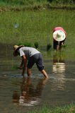 засаживать рис Стоковая Фотография