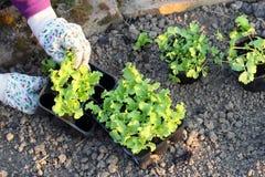 Засаживать саженцы салата на vegetable кроватях Стоковые Фотографии RF