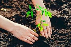 Засаживать саженцы томата с их собственными руками Стоковые Фото