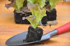 Засаживать салат Стоковое Изображение RF