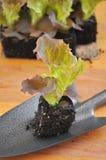 Засаживать салат Стоковые Фото