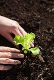 Засаживать свежий сеяец салата в почве Стоковое фото RF