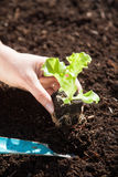 Засаживать сеяец салата Стоковое Фото