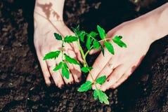 Засаживать томаты в саде Стоковая Фотография