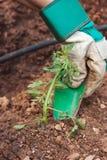 засаживать томат сеянца Стоковое фото RF