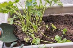 Засаживать травы в саде оконной коробки Стоковые Фотографии RF