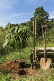 Засаживающ органический авокадо - Persea Американа Стоковое Изображение RF