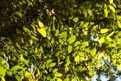 Засадите стену, Coatbuttons или мексиканскую крышку маргаритки на большом дереве Стоковое Изображение RF