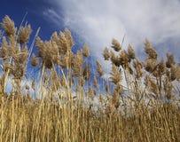 засевает высокорослое травой стоковое фото