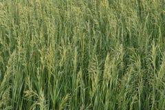засевает одичалое травой Стоковое фото RF