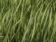 засевайте высокорослая текстура травой Стоковая Фотография RF