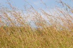 засевайте высокорослое травой Стоковое фото RF
