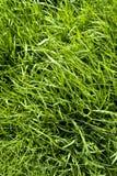 засевайте длинняя текстура травой Стоковая Фотография